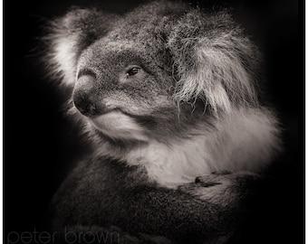 Portrait of a Koala #1