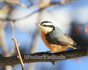 Red Breasted Nuthatch | Bird Photography | Northern Forest Songbird | Avian Wall Art | Home Office Restaurant Nature Decor | Nuthatch Print