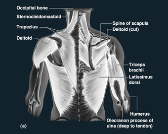 Muscles and Tendons of the Back - Art Print - Poster - Medical -  Doctors Office - Teaching Hospital - Anatomy Wall Art