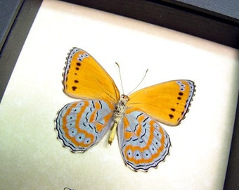 Real Framed Butterfly Lavendar Orange African Display 131