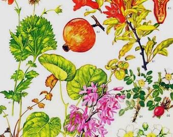 Pomegranate & Legume Flowers Mediterranean Botanical Exotica 1969 Large Vintage Illustration To Frame 28
