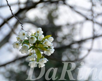 Spring blossom photo nature Cherry blooming Digital download Photo print for cards White flowers Greeting card Background picture greenery