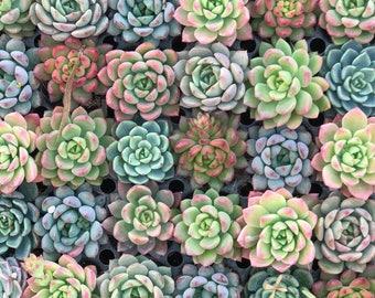PLANT ONLY a mix of echeveria succulent wedding bomboniere & favours