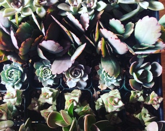 25 Succulent Plants Succulent Wedding Favors Wedding Favor Baby Shower Wholesale