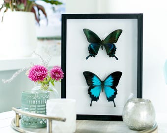 Mix & match real butterflies: Papilio maackii and Papilio ulysses