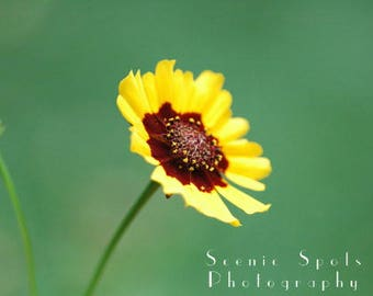 Coreopsis, Blossom, Yellow Flower, Green, Macro, Red - Fine Art Photograph