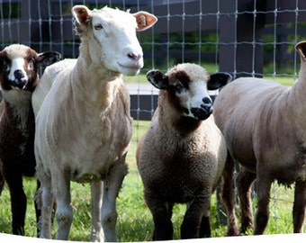 Beautiful CVM Roving Taupe American Rare Breed Sheep