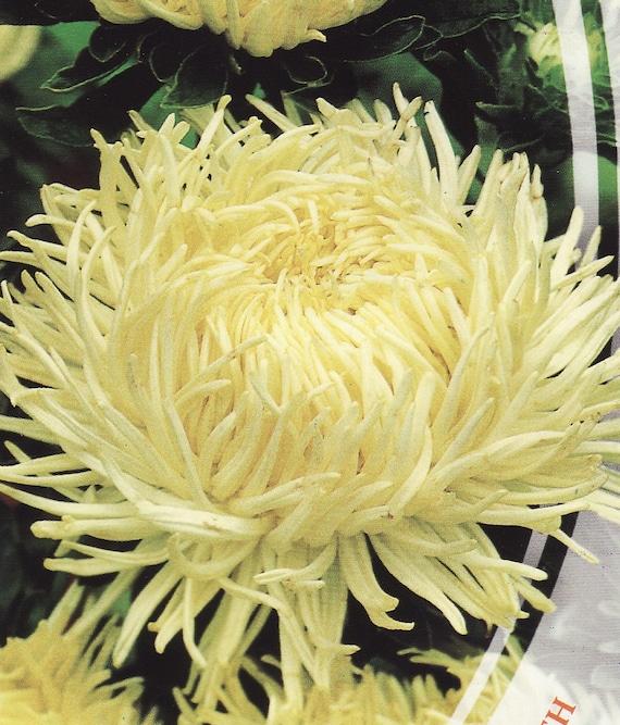 golden needle flower how to grow