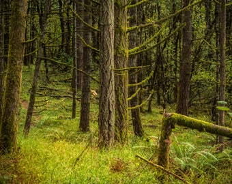 Forest Photography: green mossy woods, twilight, nature photography, pacific northwest, woodland rustic decor