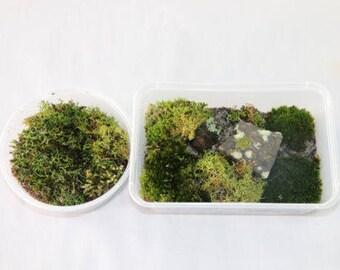 Live Moss for Terrariums & Bonsais - Variety of fresh QLD Forest Moss 400g