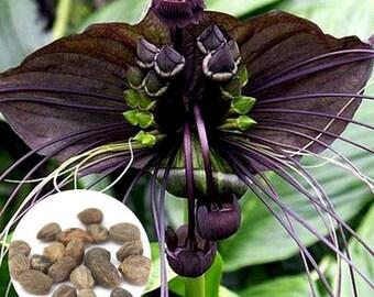10 pcs Black Bat Tacca Chantrieri Whiskers Flower Seeds