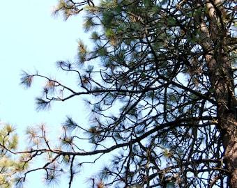 Pine Essence, Self-acceptance, Self-Identity, Self-blame, Judgement, Touch, True Feelings, Vulnerability, Ponderosa, Tree Essence