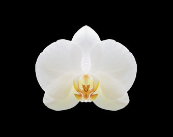 A3 PRINT - Instant Digital Download Floral Art - Delicate White Orchid on Black Background
