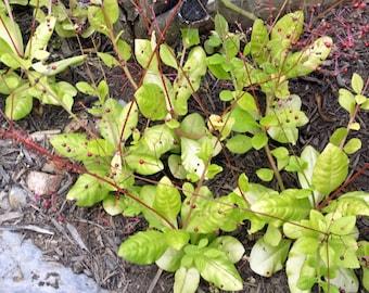 Jewels of Opar Seeds - Talinum paniculatum - 50 Organic Seeds