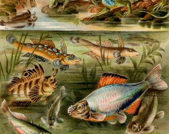 1897 Antique lithograph of FRESHWATER FISHES. AMPHIBIANS. Fish. Fishing. 121 years old print
