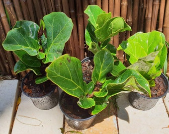 "Fiddle Leaf Fig Ficus Lyrata Pandurata in a 4"" Pot Indoor/Outdoor Plant, Patio, Garden"