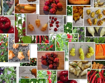 1000 Chili Samen/Seeds  -Großpackungen/Bulk-     (Viele Sorten,Many Varieties)
