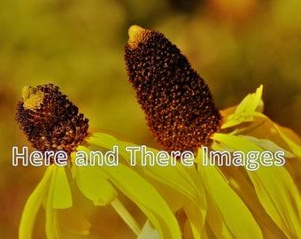 NATURE: Sunflowers (Texas 2017)