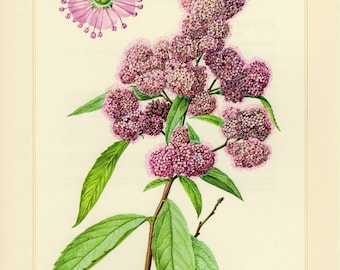 Vintage lithograph of bridewort or willowleaf meadowsweet from 1958