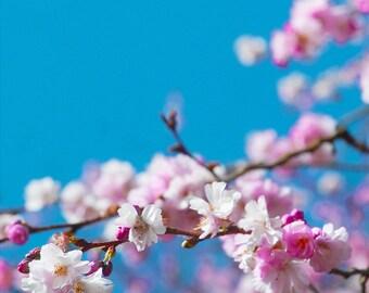 Pink Cherry Blossom, Art Print, Flower Print, Spring, Fine Art Prints - 'Sekura Blossom'