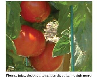 Better Boy Tomato Plant Tag