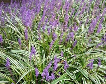 Variegated Liriope ( monkey grass ) - Live Plant - Quart Pot