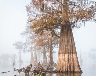 Louisiana Cypress Swamp on a Foggy Morning One