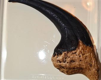 Claw foot Megaraptor