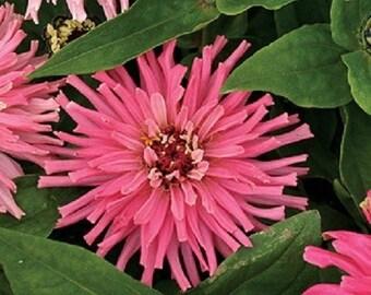 Zinnia Pinca Pink  Flower Seeds / Annual 30+