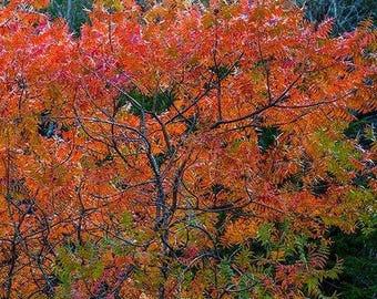 Flameleaf Sumac Tree Seeds (Schmaltzia copallinum) 40+Seeds