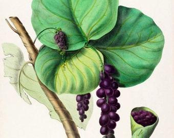 antique french botanical print sea grape  illustration digital download