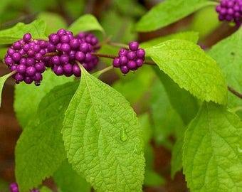 American Beautyberry Bush Seeds (Callicarpa americana) 35+Seeds