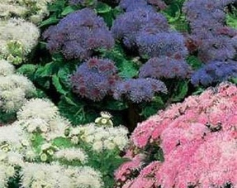 500 Ageratum Seeds Mexicanum Mix
