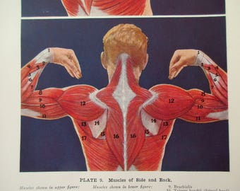 original page - 1912 color MEDICAL CHART from antique medical book - Human Muscular System, side and back