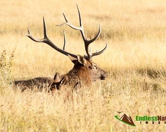 Elk Bull 1419 ( Cervus Canadensis ) Bull Elk Rests in a Wyoming meadow. Educational Elk Images, Bull Elk Prints, Nature Photograph, Wyoming.