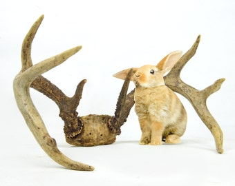 antlers, deer, 8 point, vintage antlers, wall hanging, repurpose, craft  supply,wall decor, cabin decor, hunting, rustic, FREE THE BUNNY!