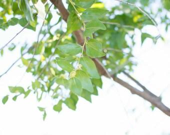 Fresh Jujube tree leaves, chinese date, Ziziphus spina, Ruqyah , Roqya, Sidr Sedr