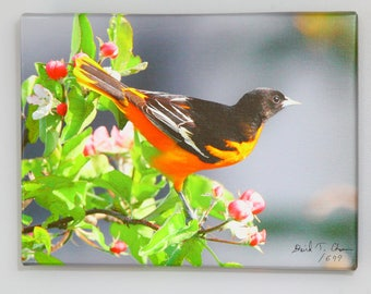 Oriole in the Blossoms