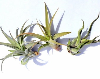 Air Plant Xeric Variety Mix of 3
