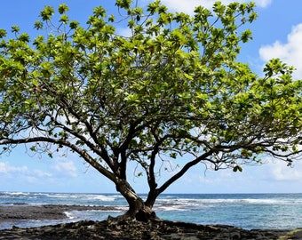 8x12 Hawaiian Coastline Tree Photo