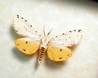 Real Framed Rare Estigmene Acrea Salt Marsh Female Moth 8453F