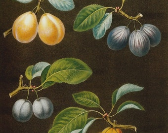 FRUIT PLUMS 2002 Color Art Print Original Book Plate 77 Beautiful Yellow and BluePlums with Detailed Leaves and Tree Branches