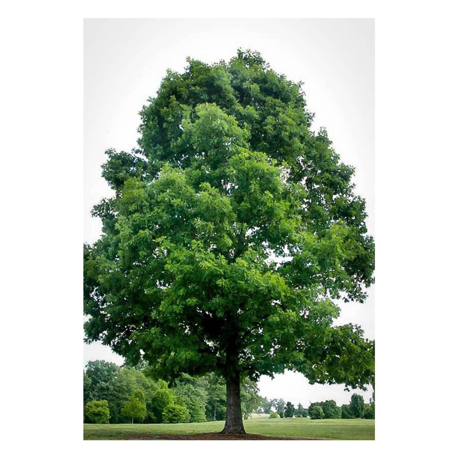White Oak Tree Quercus alba 1 Gallon Potted Plant Healthy