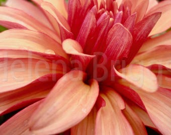 Dahlia Wall Art, Dahlia Decor, Dahlia Wall Flower, Dahlia Gift, Dahlia Picture, Red Flower Pictures, Red Floral, Red Flower Wall Decor