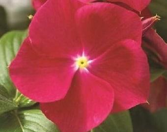 40+ Strawberry Vinca / Annual Flower Seeds