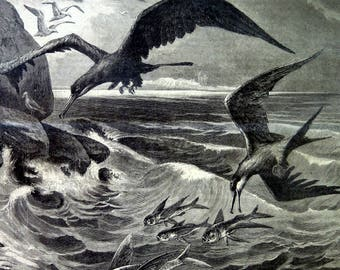 1883 antique curious Frigatebirds and flying fishes print,  colossal bird odd engraving, fish big size rare  oddity plate.
