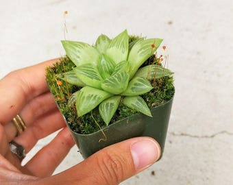 Window Haworthia Star Window Haworthia Mirabilis v Badia Water Puffy Chubby Transparent RARE Arrangement Exotic Succulent Plants