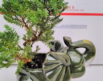 Japanese Juniper Bonsai Tree Fluffy Elephant Indoor/outdoor 4.5 Vase (FREE SHIPPING)