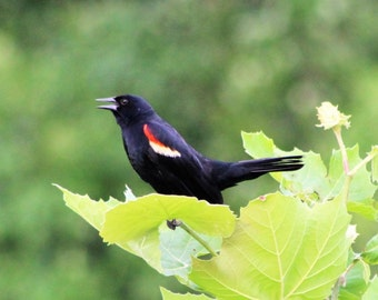 Red-winged Blackbird in wetlands