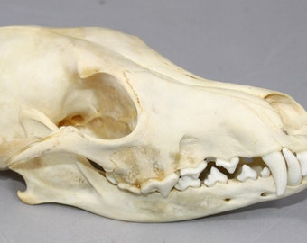 Real bone,Coyote Skull, natural,  sourced by Native subsistence gatherers